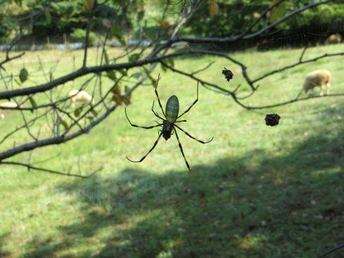 spiders japan