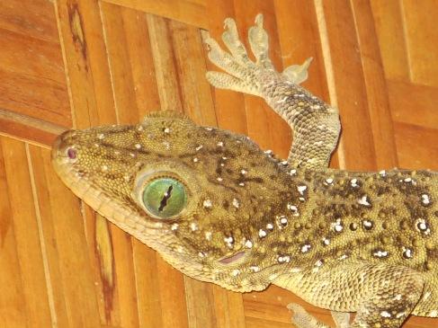 Bukit Lawang gecko