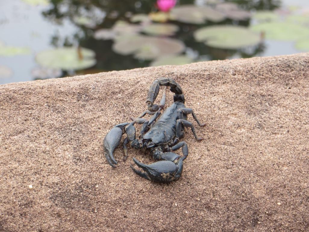 Scorpion Thailand