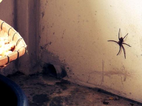 spider thailand