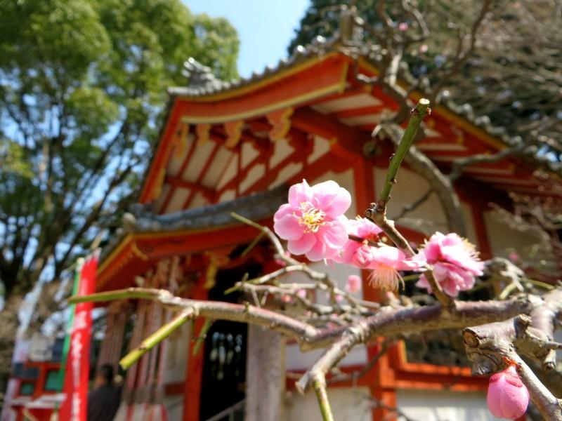 Dazaifu sakura