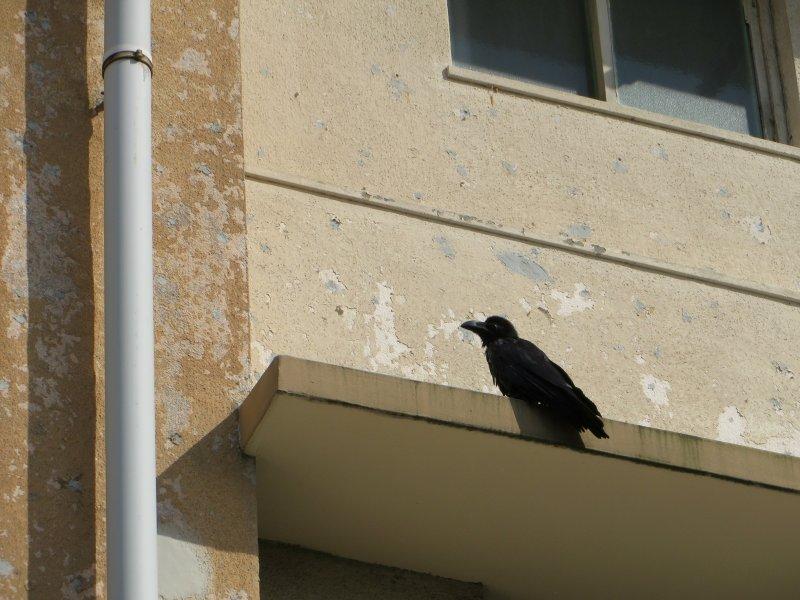 Akabane apartment crow Tokyo