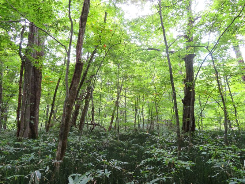 Trees along the Oriase river Aomori