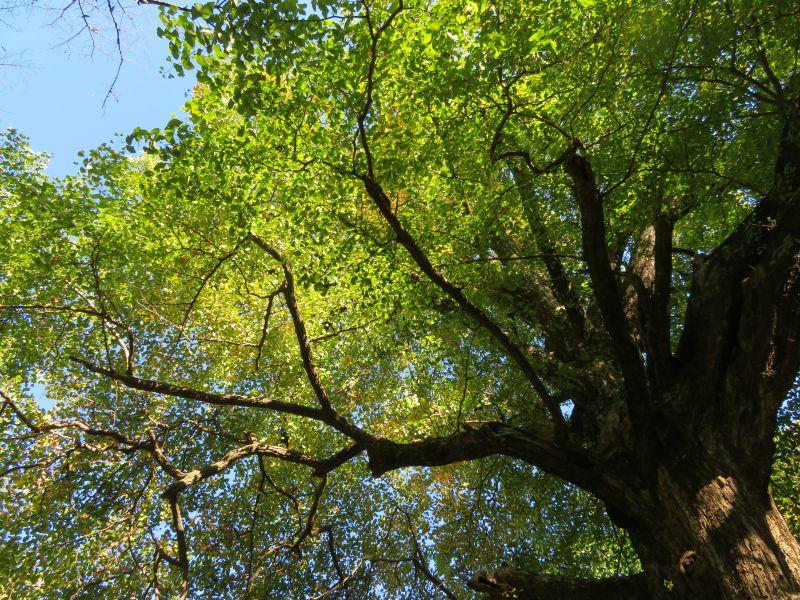 Sunny Japanese tree