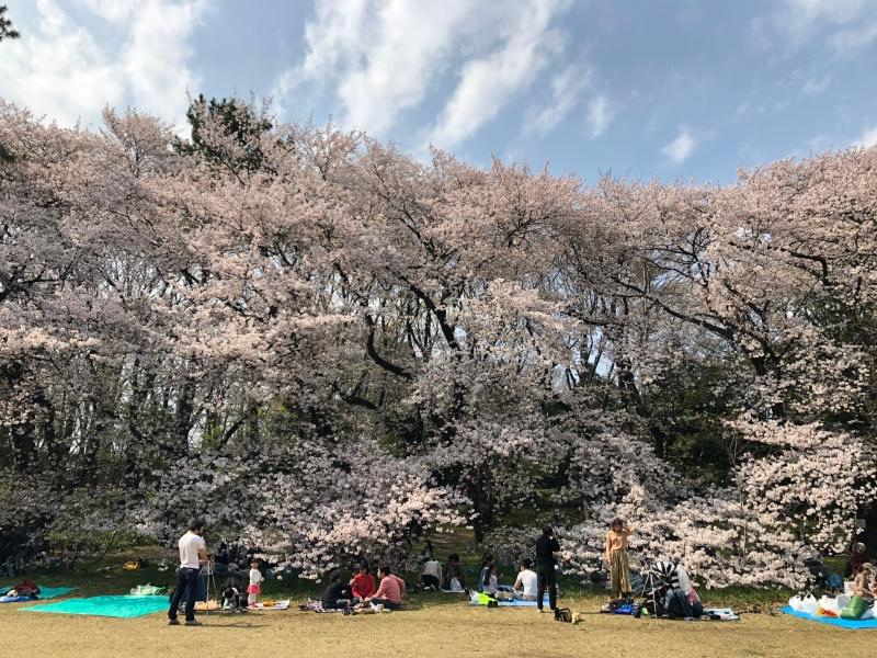 Sakura cherry blossoms Tokyo 11