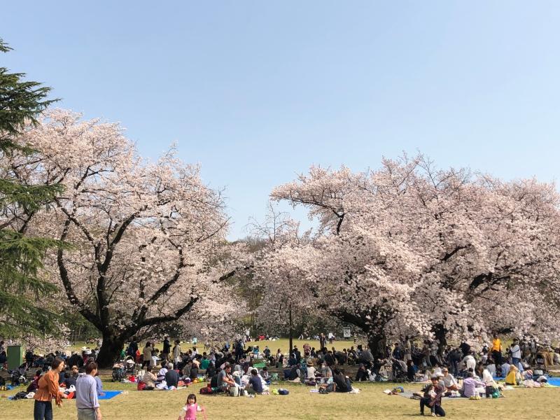 Sakura cherry blossoms Tokyo 12