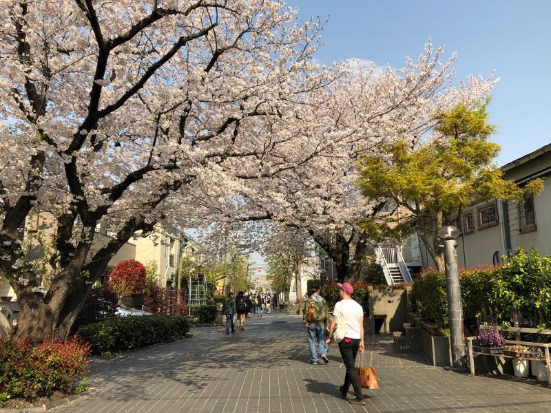 Sakura cherry blossoms Tokyo 13