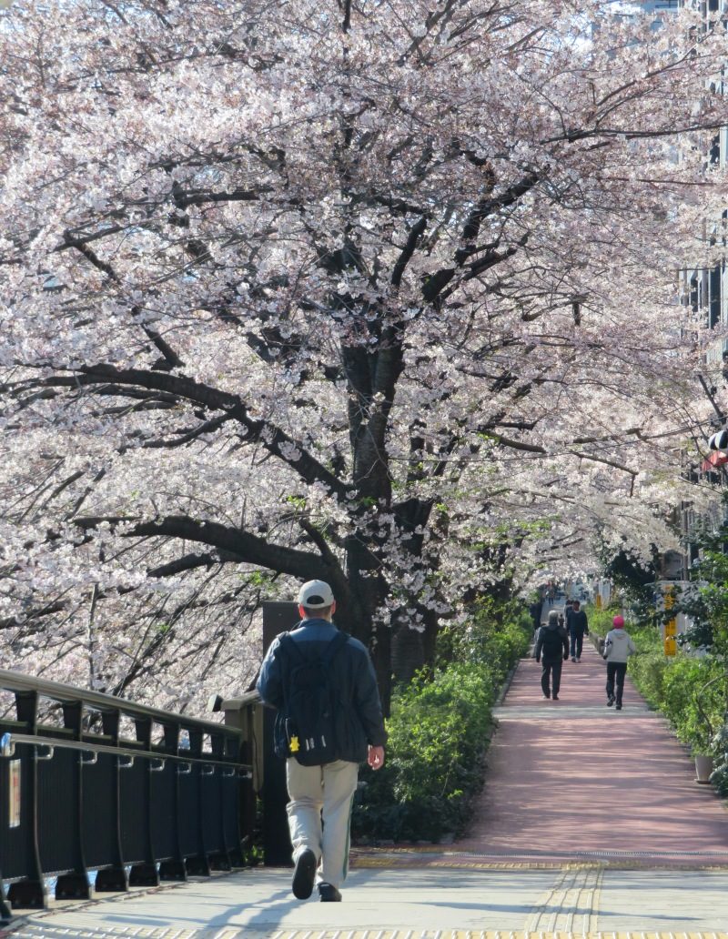 Sakura cherry blossoms Tokyo 3