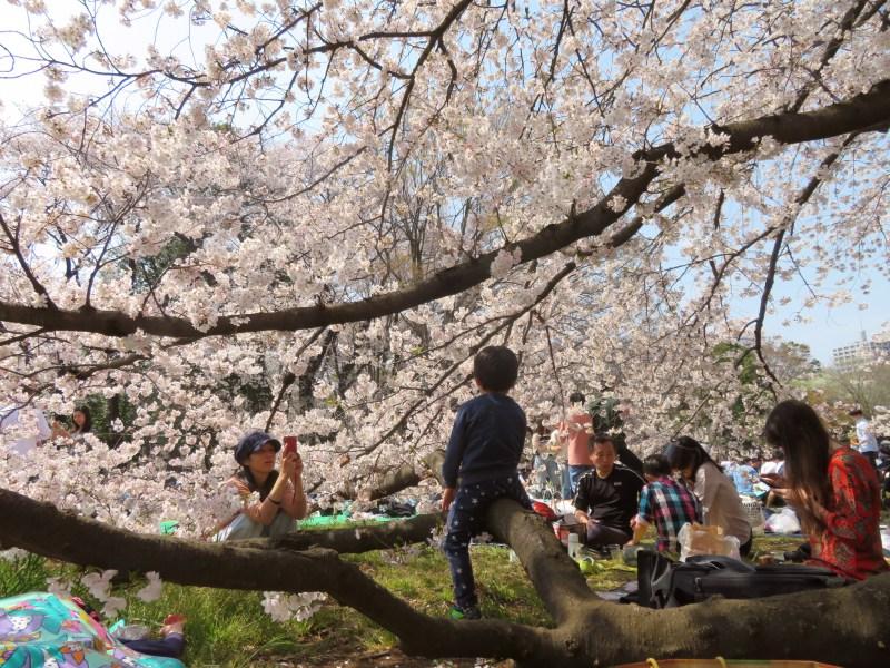 Sakura cherry blossoms Tokyo 4