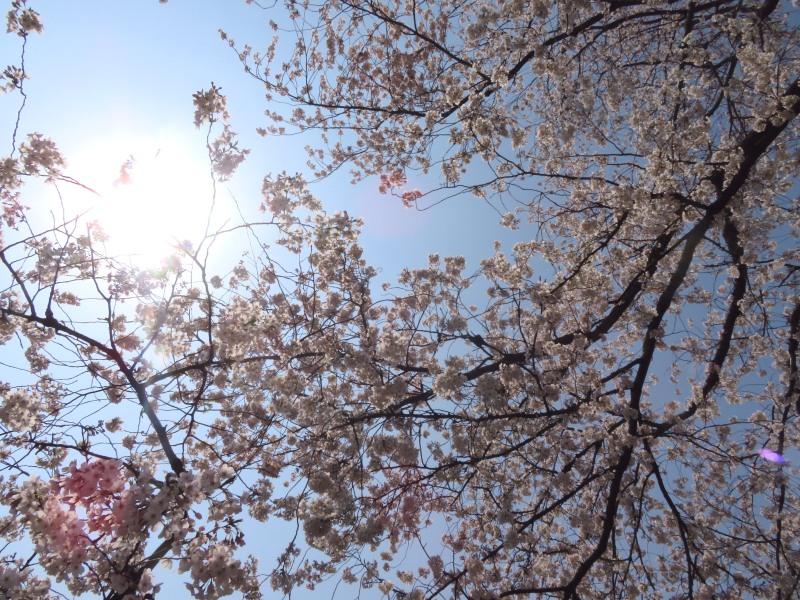 Sakura cherry blossoms Tokyo 5