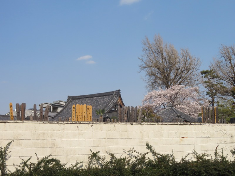 Sakura cherry blossoms Tokyo 6