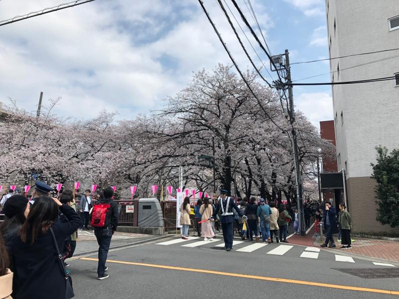 Sakura cherry blossoms Tokyo 7