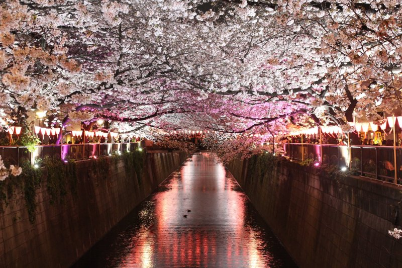 Nakameguro nighttime cherry blossoms