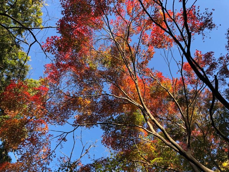 Autumn leaves Todoroki