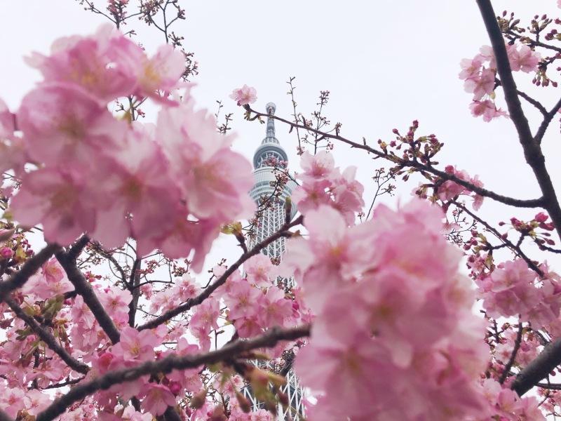 sakura cheery blossoms tokyo japan