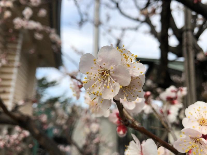 ume blossoms tokyo