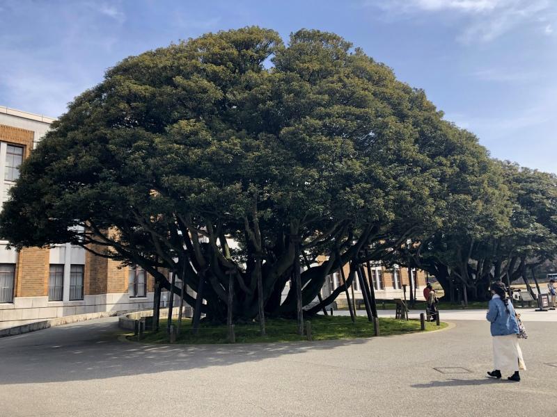 19. Kanazawa trip tree 2