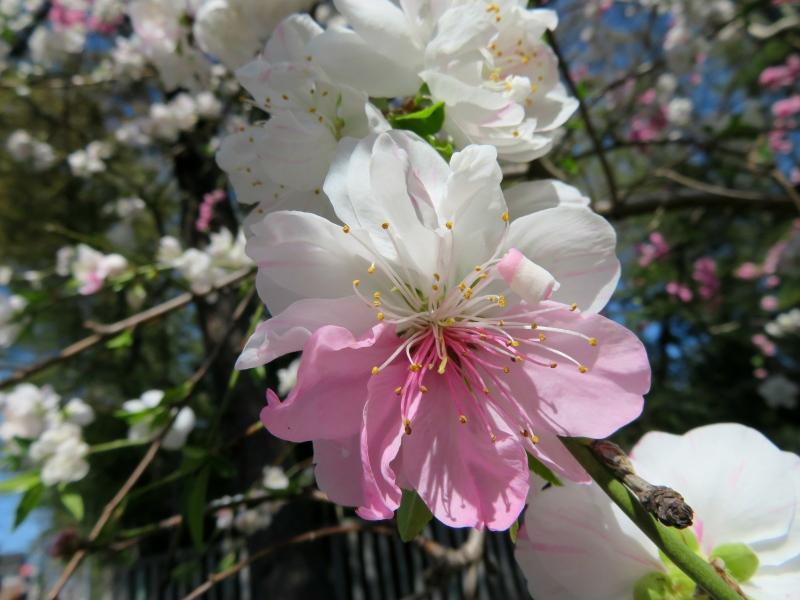 pink white blossom japanese