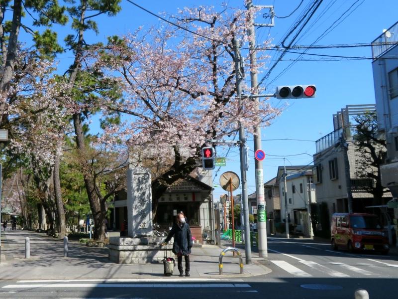 sakura urban scene japan tokyo street