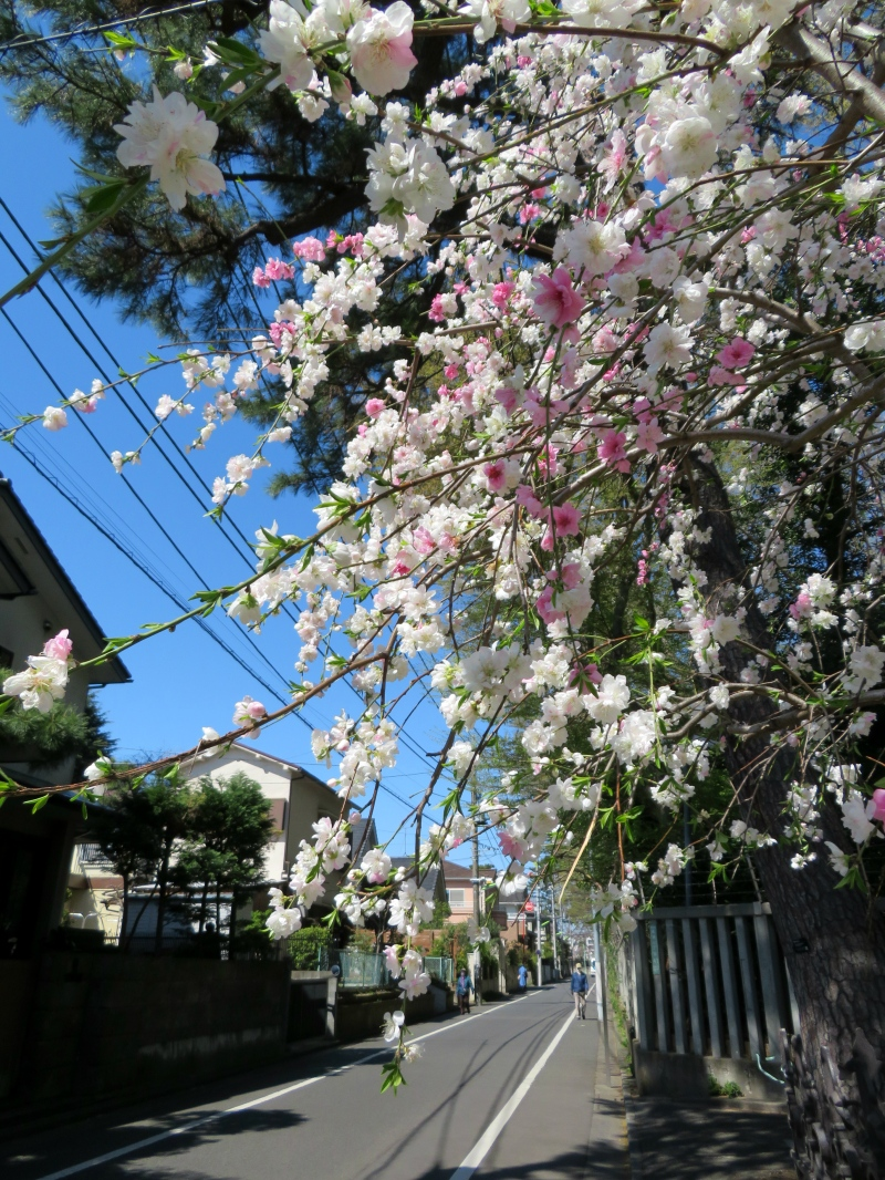 suburbia tokyo sakura suburban